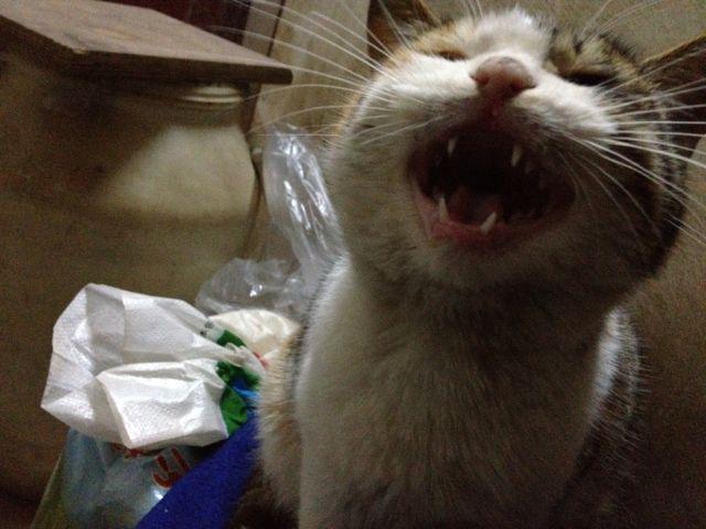 看看喵老大这假牙装的,还是蛮铿锵有力的嘛。
