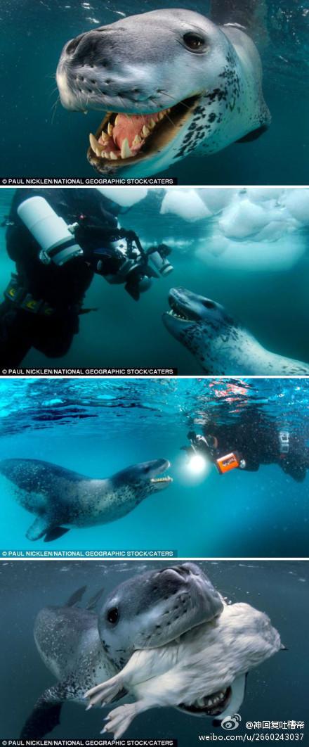 """英国《每日邮报》3月23日消息,加拿大一名野生动物摄影师在南极洲水下遇到一只体型巨大的海豹。该海豹如若张嘴,可将摄影师的相机及脑袋一起吞下。但令摄影师意想不到的是,这只海豹竟友好地送企鹅给摄影师,似乎想与他交朋友。  神回复:""""其实海豹想说:这是我的QQ"""""""