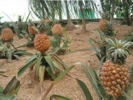 北方孩纸伤不起,才知道菠萝这样长的