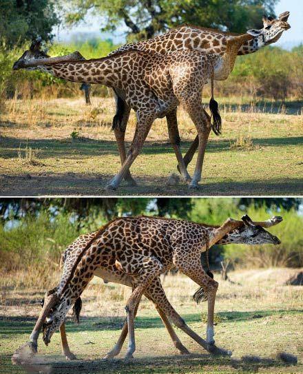 每个长颈鹿都是个杂技演员