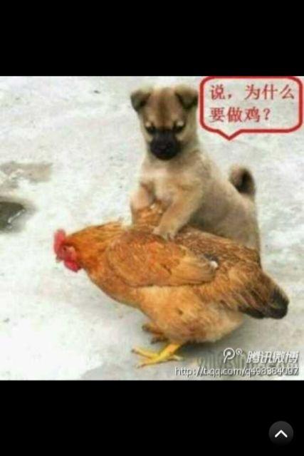 说,为什么做鸡