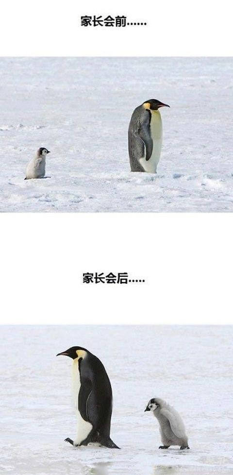 跟着粑粑开家长会前后,小企鹅萌死让人呐