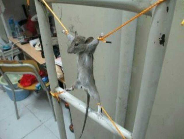 在宿舍潜藏半个月的老鼠终于抓住了。准备大刑伺候!