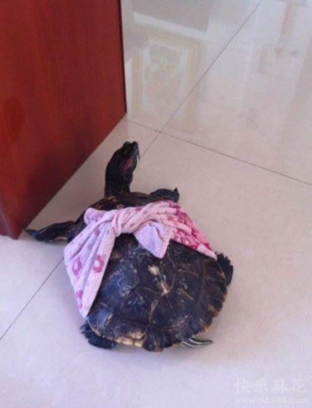 乌龟乱爬,这下不用擦地板了