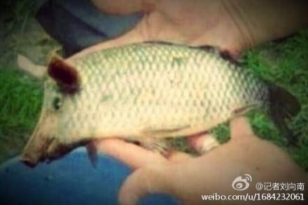 万头死猪入江,终于培育出了新品种:黄浦江鱼。