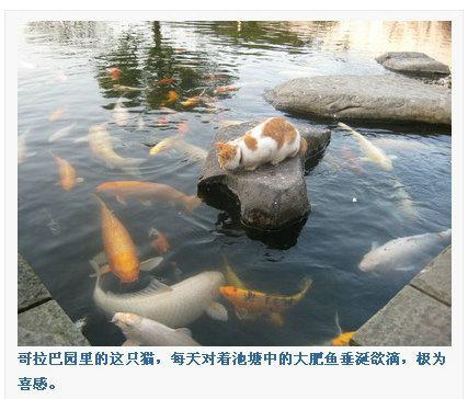 公园里的这只猫,每天对着池塘中的大肥鱼垂涎欲滴,极为喜感。我深深觉得,猫要跳下去那白色大肥鱼能把它吞了…