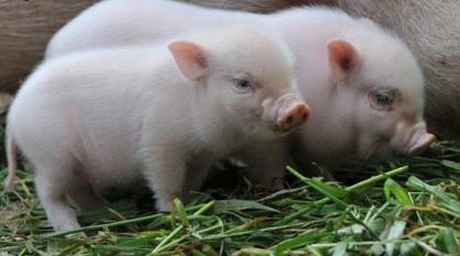 """从前有两只猪,一只猪勤奋无比,早起晚归田间劳作,一只猪却懒惰异常,靠勤奋小猪接济着过日子。日子一天天的过去,某天,猪神下山发现了这两只小猪,只见猪神怒吼着一个雷劈死了勤奋小猪:""""你丫的出卖了猪的灵魂!"""""""
