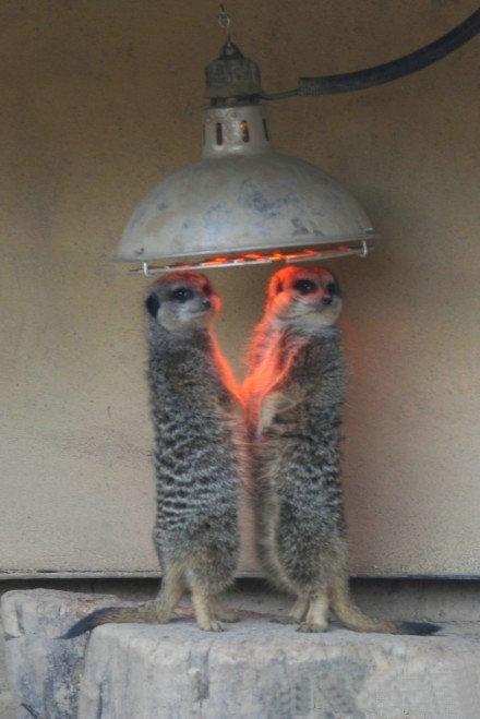 伦敦动物园,手拉手取暖的猫鼬~ (。-_-。 )人( 。-_-。)