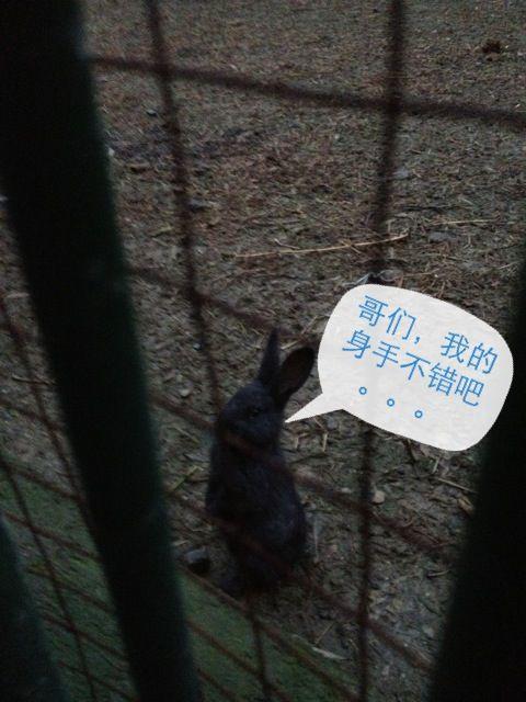 那天我来到百草园的动物园,正当我在仔细研究黄麂那苗条得不能再苗条的腿时,一道黑影冲了过来,我大吃一惊,我凝神一看------呀!原来是只兔子!只见它双爪护头,后腿一弹,直接穿过了那比它小2倍的圈内,滚进了笼子,然后淡定地转过身,对我做了一个萌翻的动作:见图