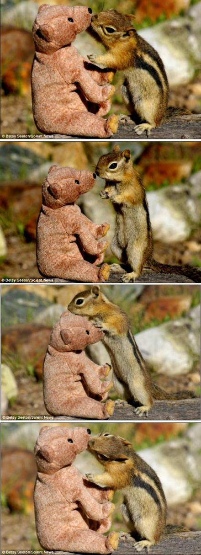 【亲爱的,打个啵儿吧!】英国每日邮报报道,一只小花栗鼠在美国科罗拉多州的花园溜达时碰到了它的百分百女孩——一只泰迪熊。花栗鼠小心翼翼地踮起脚尖接近泰迪熊,深情地打量着心上人。然后它就毫不客气的亲上去了!随后还闭起眼睛回味了一下。不过,泰迪熊的反应好像有点冷淡啊……