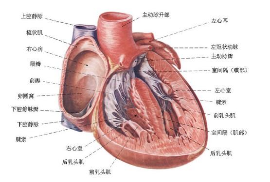如果你愿意一层一层地剥开我的心,你会发现,你会讶异,里面有二尖瓣、三尖瓣、隔缘肉柱、腱索、乳头肌,就是没有你。