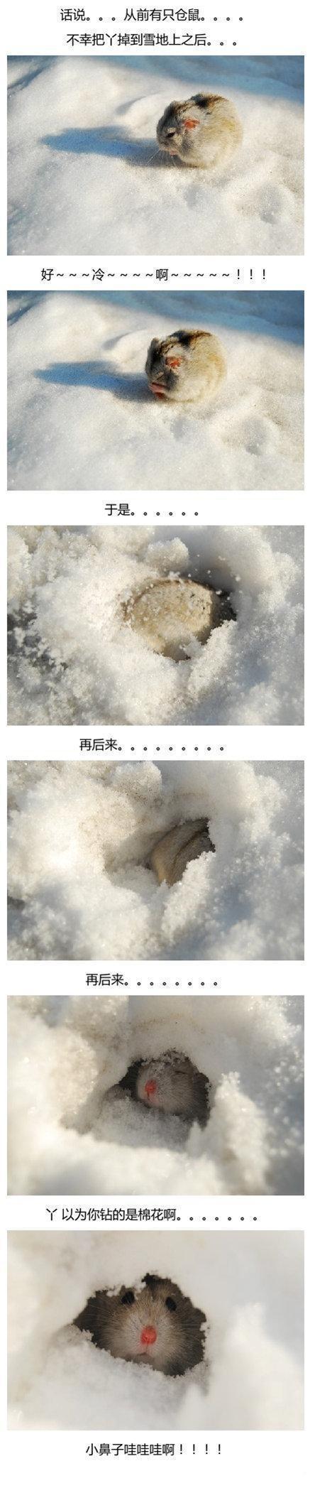 从前有一只仓鼠。。。主人一不小心把它掉雪地上之后。。。。「图转」