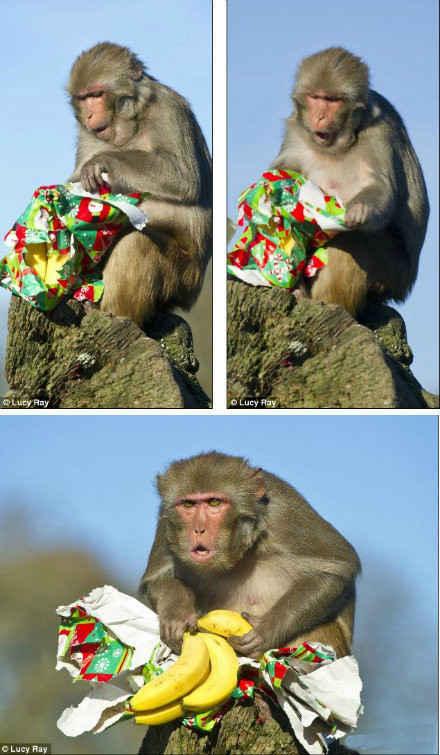【神马!又是香蕉】老是收到一样的礼物,连猴子也不屑!国外媒体近日报导,英国威尔特郡朗利特野生动物公园趁着圣诞佳节精心包装礼物,分送给园内动物,包括大猩猩及猴子等,但没想到猴子拆礼物后,发现竟是他天天在吃的香蕉,当场脸部表情都垮下来,似乎心情瞬间从天堂跌到地狱。