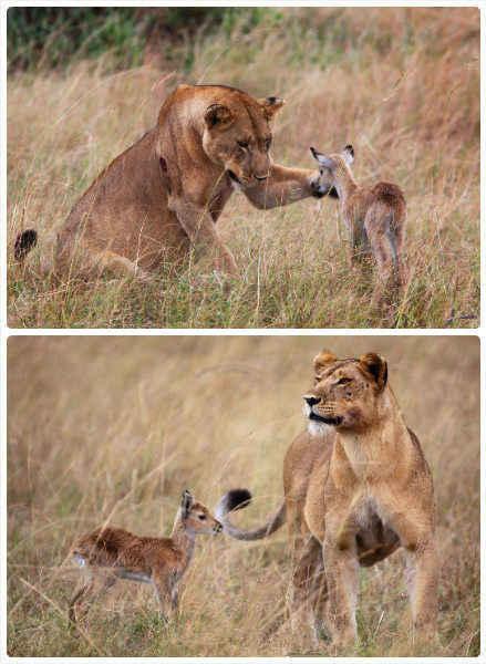 """【非洲母狮吃掉母羚羊后""""收养""""小羚羊】摄影师阿德里·德维瑟在乌干达伊丽莎白女王国家公园中游玩时,看到了惊奇一幕:一头饥饿的非洲母狮追赶并吃掉了一只母羚羊后,发现了一只变成孤儿的小羚羊,母爱本能战胜了杀戮天性,母狮非但没有吃下这只小羚羊,还将它""""收养""""在了身边「中新 财经网」"""