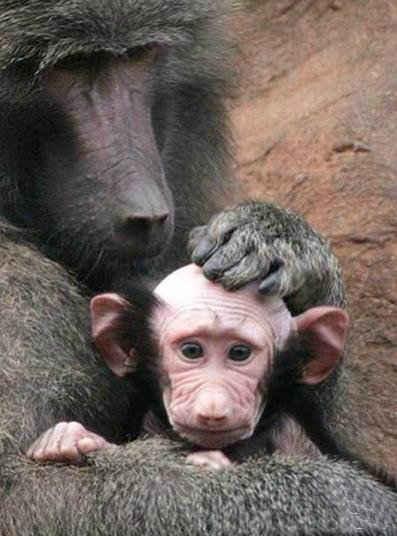 """【英国动物园一只小狒狒被妈妈舔成秃头】英国德文郡一家动物园的小狒狒雷吉,出生时全身毛发茂密,出生后没多久却成了一个""""小光头""""。原来,狒狒妈妈出于溺爱,终日用舌头舔拭爱子。动物园发言人诺林称:""""小狒狒不会一直这么秃下去,失去的头发还会再长回来。""""(viaMedusa奇异动物馆)"""