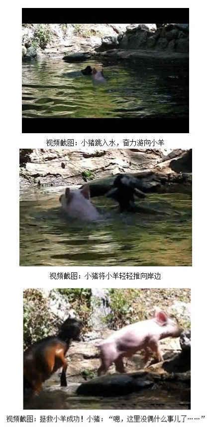 """【""""英雄猪"""" 勇救落水羊】近日一段美国动物园里""""英雄猪""""勇救落水羊的视频走红网络。小羊掉进水里了,一只粉白色的可爱小猪一头猛扎进水池,迅速向在水中扑腾的小羊游去,还没等观众回过神来,便轻轻推着落水的小羊靠了岸。上岸后,小猪甩甩身上的水,若无其事地离开了"""