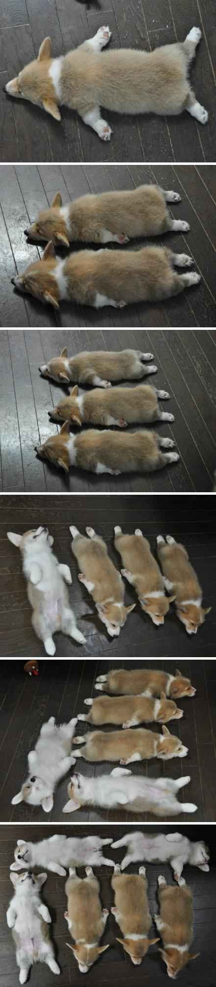 一只……两只……三只……一共六只可爱的柯基在睡觉~~