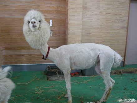 动物园剃了毛的羊驼驼!笑死了~