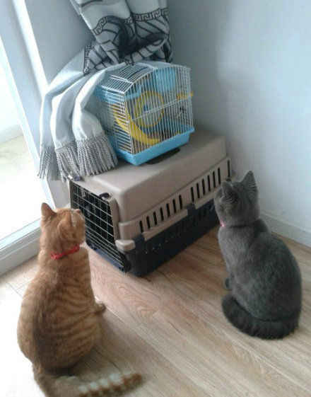 自从家里来了小仓鼠,这俩货就这样坐了一下午……死心吧吃货!!!