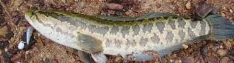 Discovery的一个节目,说北美发现一种怪物鱼种,肉食,吃所有其他的鱼,捕食手段凶残,离开水还能活三天,可以在陆地上滑行,会袭击小孩,宠物甚至杀死成人,一条40来斤,怀疑是某种远古物种,上网查了一下,此鱼如下图,俗称黑鱼,水煮红烧两相宜 。网友评论:中国胃一直在默默地保护世界……(转)