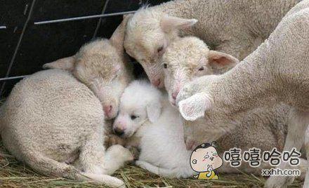 一只自己认为是羊羊的狗狗