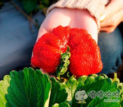 这算是草莓界的胖子了吧