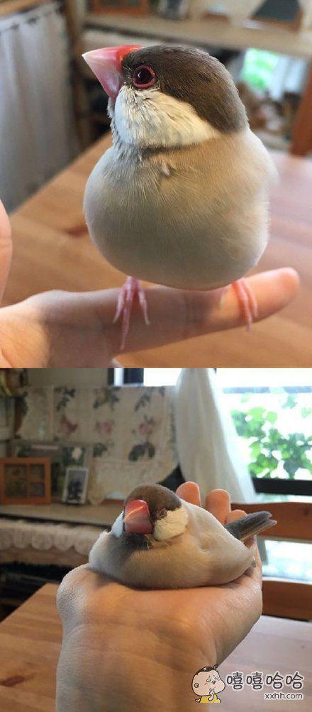 这只文鸟从站在我手上到溶化在我手心里仅仅用了8分钟