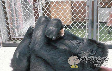 一只没有后代的黑猩猩收养了一只小喵咪当孩子,这场面太温馨了!