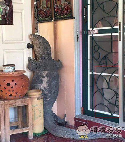 泰国一个网友,回家突然看见门口趴着个巨蜥,窗后的狗都懵逼了