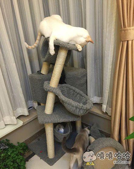胖猫,放过那个猫爬架好吗?