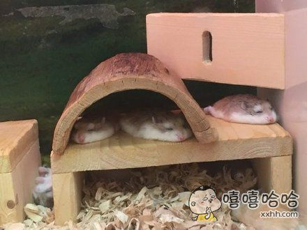 最新生物科技,液态仓鼠