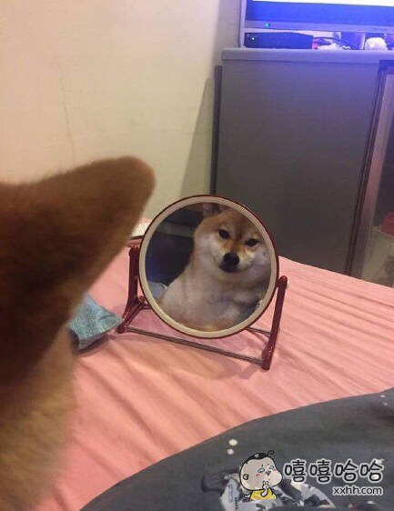 日本一网友家的柴柴一照镜子就会露出谜之微笑