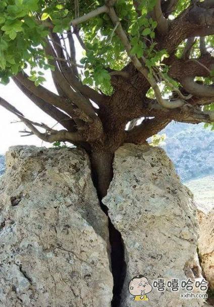 一颗顽强的树