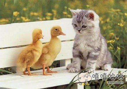 中间那只鸭子:要忍住,不能让老婆看出我和那猫有一腿儿