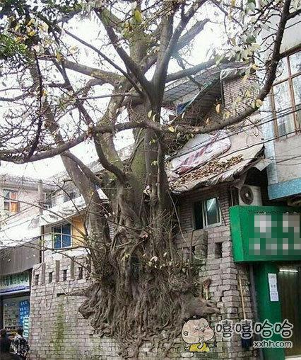 这是一棵顽强的树