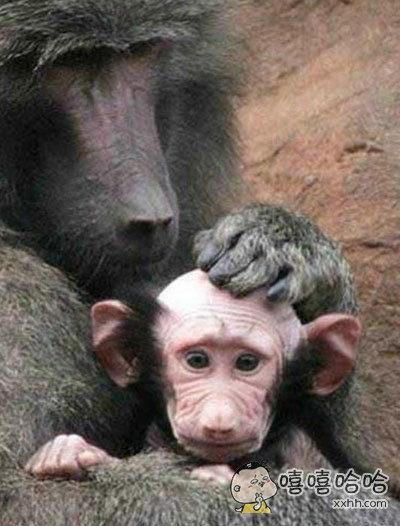 英国一动物园母猩猩因过度宠爱孩子,把它舔成了秃顶。。。。。。
