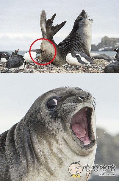 被小企鹅幼仔致命一击,正中屁股的海豹。。。这表情大写:生无可恋