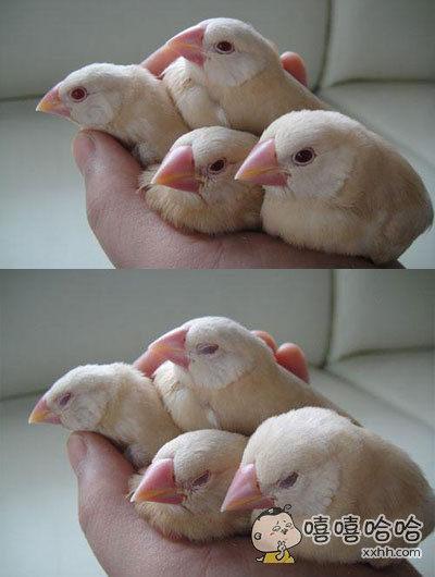 将一群文鸟置于手上几分钟后