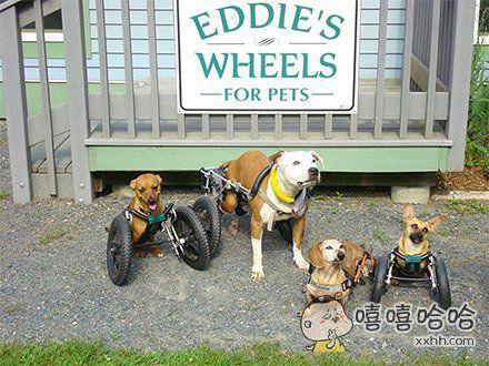 EDDIE是一家专门帮残疾动物安装轮椅的公司,看完心都融化了!