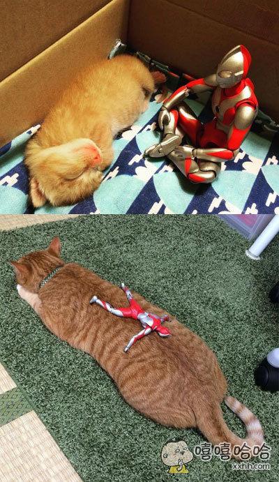 家里的奥特曼,就这样一点点陪伴着小奶猫长成了大怪兽。。。岁月真是把猫粮