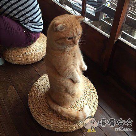 """岛国京都一家猫咪咖啡店的美人店员""""海胆酱"""",不仅颜值高,还有特殊的服务技巧,擅长表演优雅站姿"""
