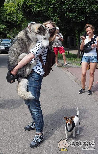 哈士奇遇到危险时它会迅速跳起,挡在你胸前,四脚立地。小狗:妈的,智障!