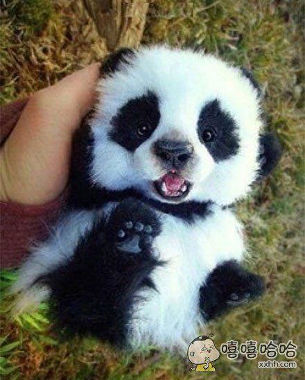 自带卖萌功能的小熊猫!