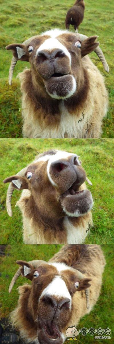 一位网友表示遇到了一只非常屌的羊……全程都是表情包