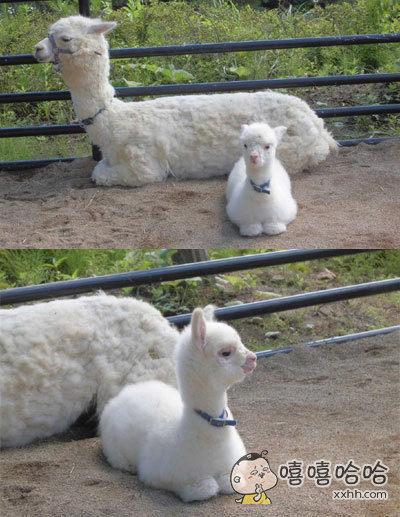 动物公园里的一对亲子羊驼,卧槽这羊驼宝宝