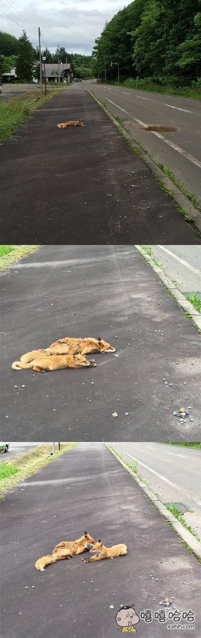 妹子出门散步,远远看见路旁惊现两只死狐,吓了一跳以为发生了事故。。。走近一看才发现只是两只废狐