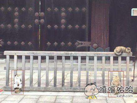 京都东本愿寺门口的猫……哥俩坐这么对称,显然是把自己当成威武的石狮子了