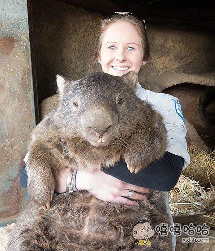 目测这应该是世界上最大的树袋熊了