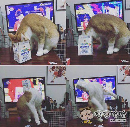 台湾网友拍到了喵星人偷喝牛奶的过程