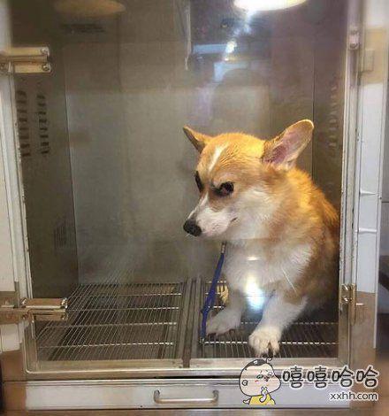 这只短腿儿被放到宠物烘毛机里后,就开始面露杀气,主人可能要完。。。。